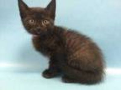Adopt Mars a All Black Domestic Shorthair / Mixed cat in St. Paul, MN (25937408)
