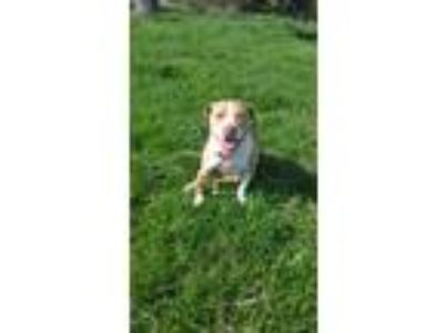 Adopt Leia a Red/Golden/Orange/Chestnut - with White American Pit Bull Terrier