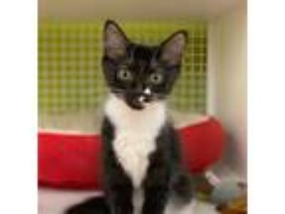 Adopt Nora Jane a Black & White or Tuxedo Domestic Shorthair / Mixed cat in