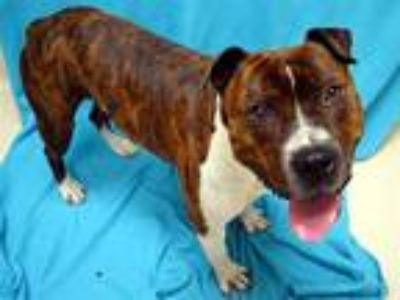Adopt Bandit a American Staffordshire Terrier / Mixed dog in Portland