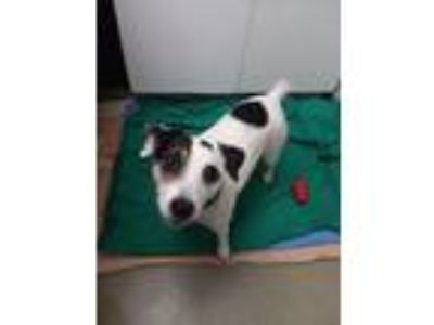 Adopt Jackson a Jack Russell Terrier