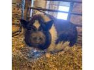 Adopt Charolette a Pig (Potbellied) farm-type animal in Plainfield