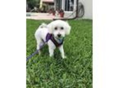 Adopt Molly a White Poodle (Miniature) / Bichon Frise / Mixed dog in Ft.