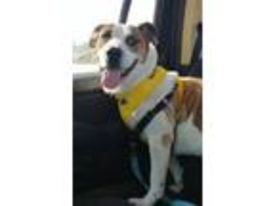 Adopt TAFFY a Cattle Dog, Boxer