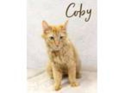 Adopt Coby a Orange or Red Domestic Mediumhair / Domestic Shorthair / Mixed cat