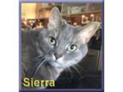 Adopt Sierra a Gray, Blue or Silver Tabby Domestic Shorthair (short coat) cat in