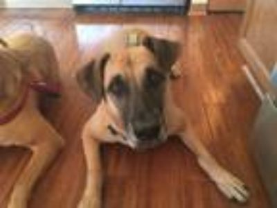 Adopt Cooper a Tan/Yellow/Fawn - with Black Great Dane / German Shepherd Dog /