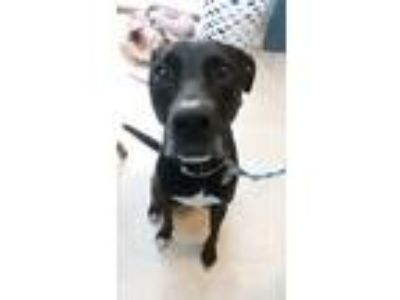 Adopt Willow a Black - with White Labrador Retriever dog in Shelbyville