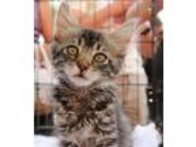 Adopt July a Maine Coon