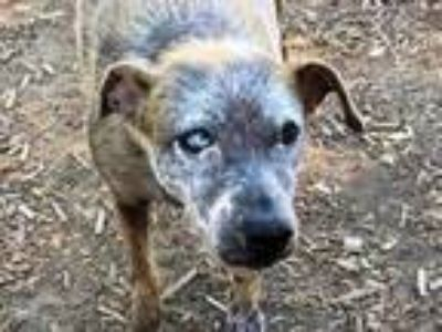 Adopt Shaniah a Chinese Crested Dog, Cattle Dog