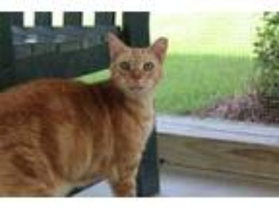 Adopt Luke a Orange or Red Domestic Shorthair / Domestic Shorthair / Mixed cat