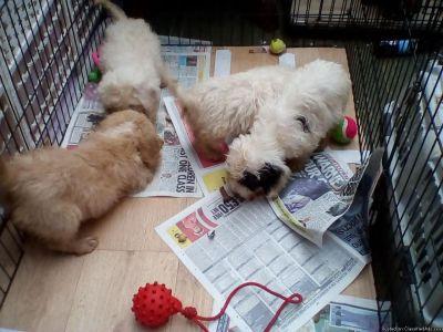 AMAZING COCKAPOO PUPPIES FOR SALE