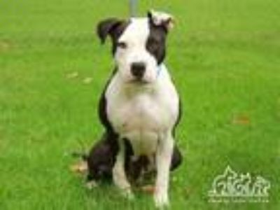 Adopt COLA a Pit Bull Terrier, Mixed Breed