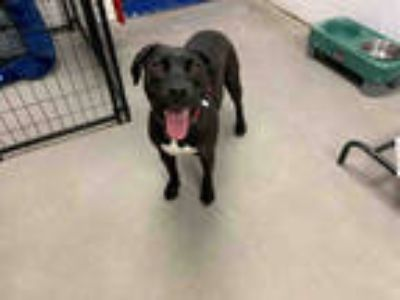Adopt TUCKER a Black - with White Labrador Retriever / Mixed dog in Brighton