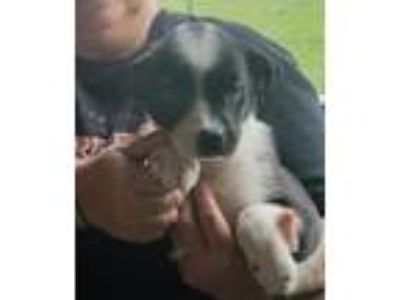 Adopt Rea a Black - with White Border Collie / Terrier (Unknown Type