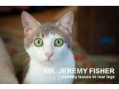 Adopt Mr. Jeremy Fisher a Gray or Blue (Mostly) Domestic Shorthair / Mixed