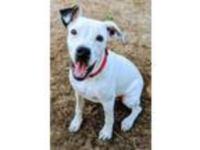 Adopt Fiona a White - with Black American Staffordshire Terrier / Shepherd