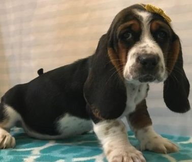 Basset Hound Puppies For Sale Classified Ads In Columbus Ohio