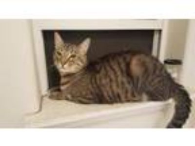 Adopt JASPER - Offered by Owner - Family Cat a Domestic Short Hair, Tabby