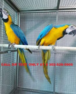 Available Male & Female blue and gold macaw parrots
