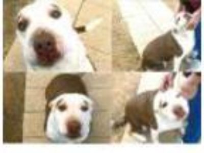 Adopt Mariah a White American Pit Bull Terrier / Mixed dog in Blanchard