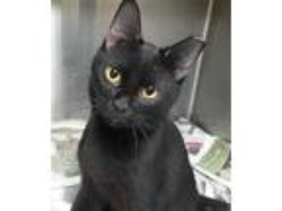 Adopt CLEVELAND a All Black Domestic Shorthair / Mixed (short coat) cat in