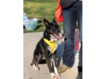 Adopt Venice a Border Collie, Mixed Breed
