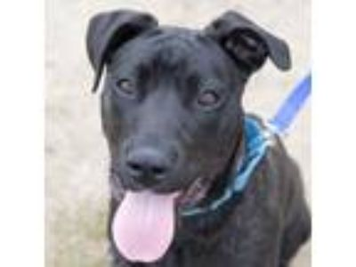 Adopt Danvers a Black American Pit Bull Terrier / Mixed dog in Ann Arbor