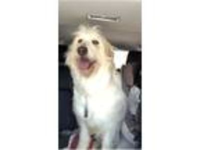 Adopt Susie a White Great Pyrenees / Poodle (Standard) / Mixed dog in Hazard
