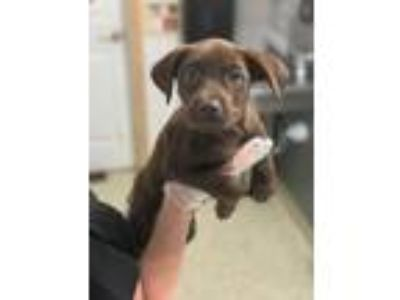 Adopt Lindy a Brown/Chocolate Labrador Retriever / Mixed dog in St.