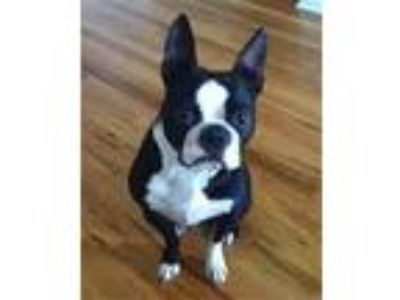 Paz - Boston Terrier Dog For Adoption in Chicago IL