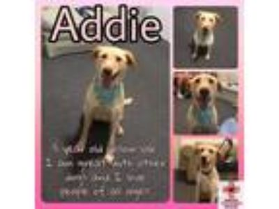 Adopt Addie a Labrador Retriever