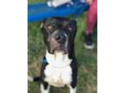 Adopt Oreo a Black American Pit Bull Terrier / Mixed dog in Fort Worth