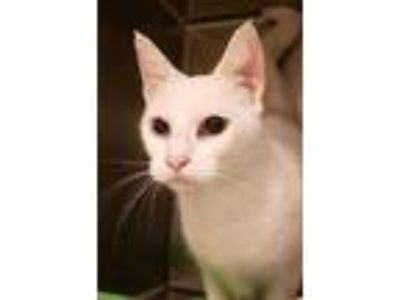 Adopt Shimmer a White Domestic Shorthair / Domestic Shorthair / Mixed cat in