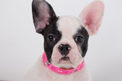 French Bulldog PUPPY FOR SALE ADN-92426 - TODAY PRICE REDUCED French Bulldog Female