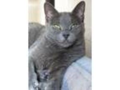 Adopt 8-80 Shadow a Domestic Short Hair
