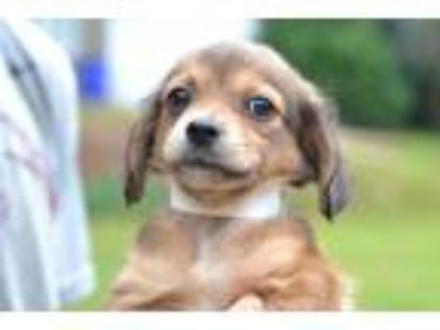 Adopt Arts - Clarice Litter a Brown/Chocolate Dachshund / Mixed dog in Kennesaw