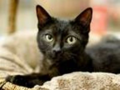Adopt T'Challa a All Black Domestic Shorthair (short coat) cat in Great Falls