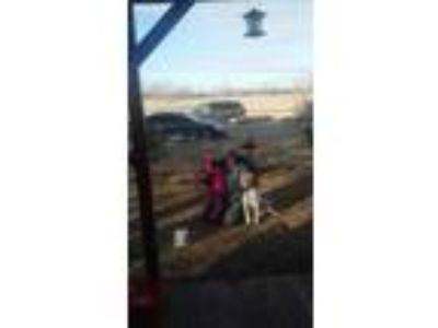 Adopt Mia a White Labrador Retriever / Mixed dog in Augusta, KS (23974347)