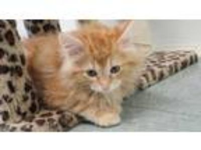 Adopt IKE a Orange or Red Domestic Longhair / Domestic Shorthair / Mixed cat in