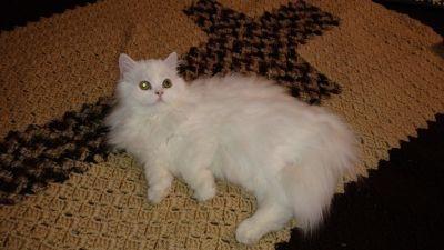 CFA Persian Male Cat