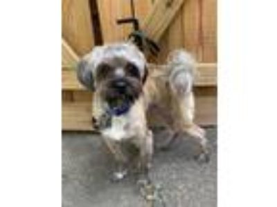 Adopt Theo a Silky Terrier, Poodle