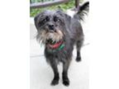 Adopt Chocolate a Black Shih Tzu / Terrier (Unknown Type