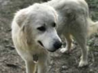 Adopt Blue LGD a White Great Pyrenees / Mixed dog in Statewide, TX (25236345)