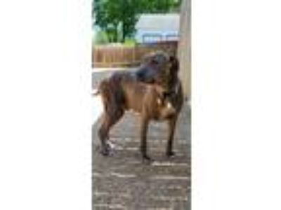 Adopt Kronos SPECIAL SUMMER DISCOUNT a Pit Bull Terrier