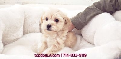 Poodle (Standard)-Maltese Mix PUPPY FOR SALE ADN-75521 - Maltipoo Female Malibu
