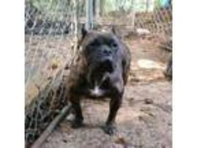 Adopt Felicia a Staffordshire Bull Terrier