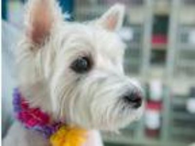 Adopt Mia a White Westie, West Highland White Terrier / Mixed dog in New York