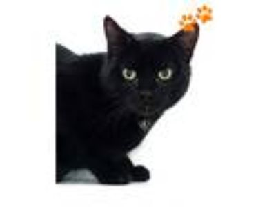 Adopt Gomez a Domestic Mediumhair / Mixed (short coat) cat in Novato