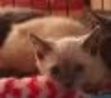 Zahara Siamese Cat